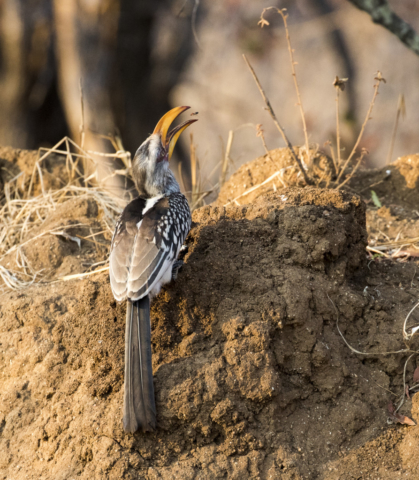 Southern yellow billed hornbill eating termites